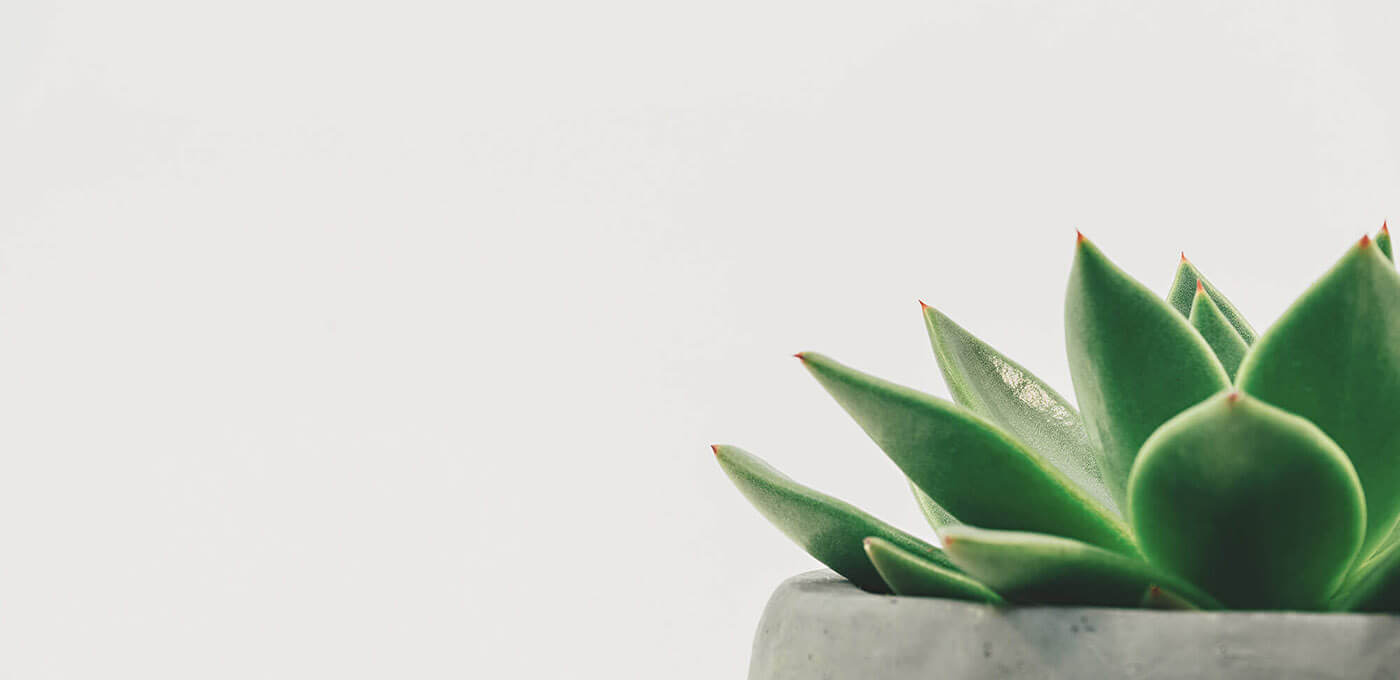 A close up photo of a succulent in a gray stone planter. On the far right you see part of the plant and the very top of the planter and the left side of the image is left completely white.